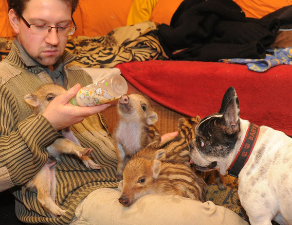 Baby the French Bulldog with Wild Boars