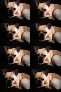 eight frames of french bulldog