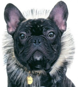 Marcel french bulldog