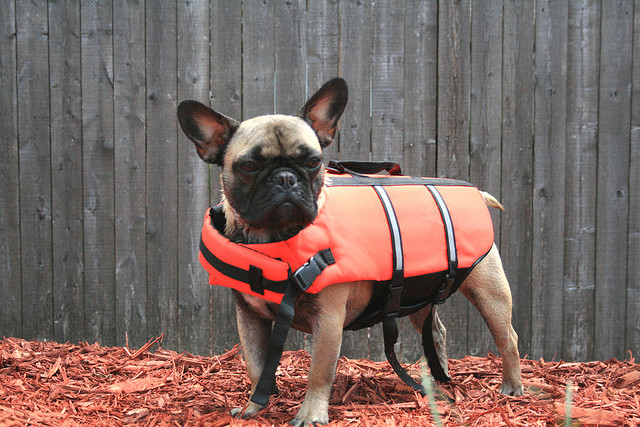 French Bulldog in a Lifejacket