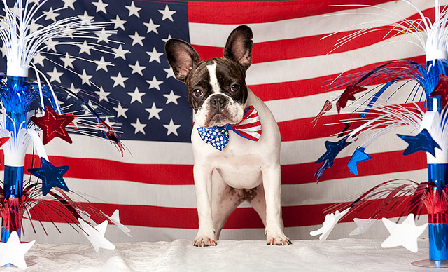 Patriotic French Bulldog