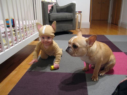 baby-frenchie