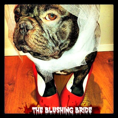 Boss the French Bulldog is a Blushing Bride