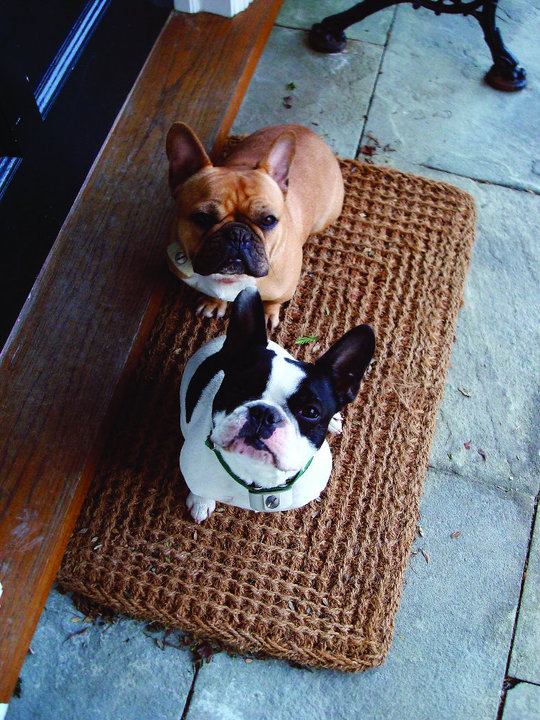 French Bulldogs Jimi and Dylan
