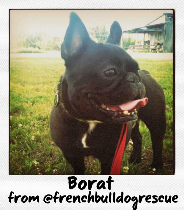 Borat the French Bulldog from FrenchBulldogRescue