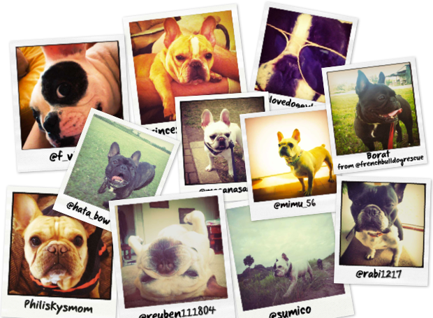 French Bulldog Pictures as Polaroids