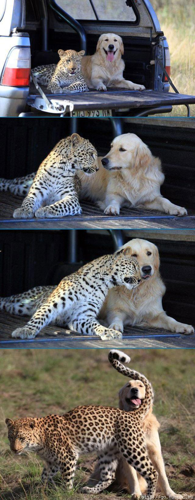 leopard and golden retriever best friends