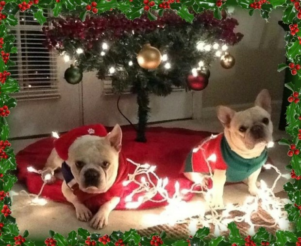 Gracie and Spock French Bulldogs