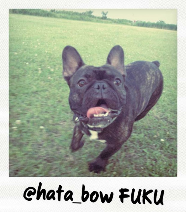 Fuku the Frenchie by hata_bow