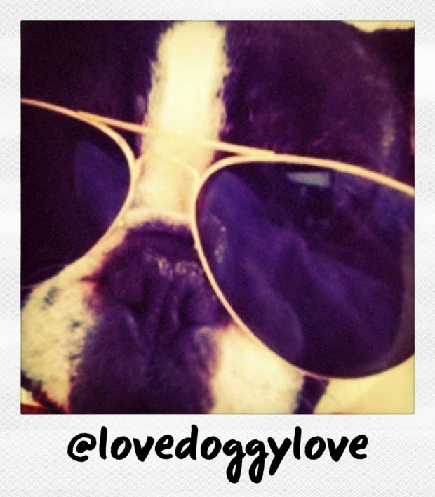 lovedoggylove frenchie in aviator sunglasses