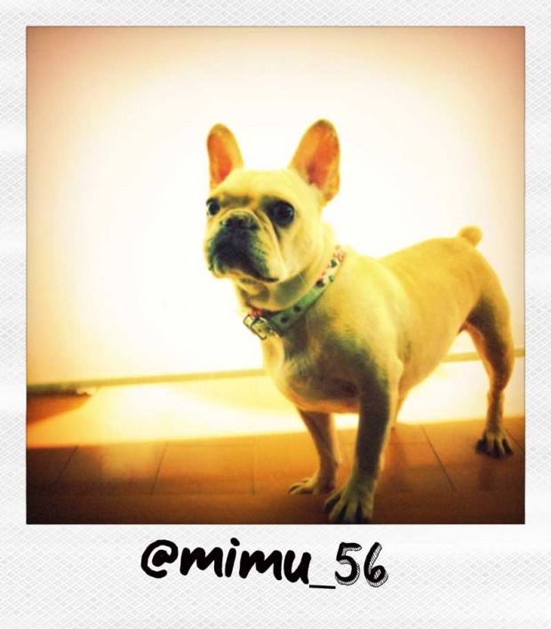 French Bulldog Polaroid from Mimu_56