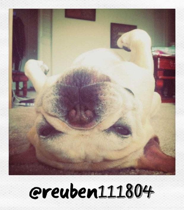 Reuben the French Bulldog on his Back by reuben111804