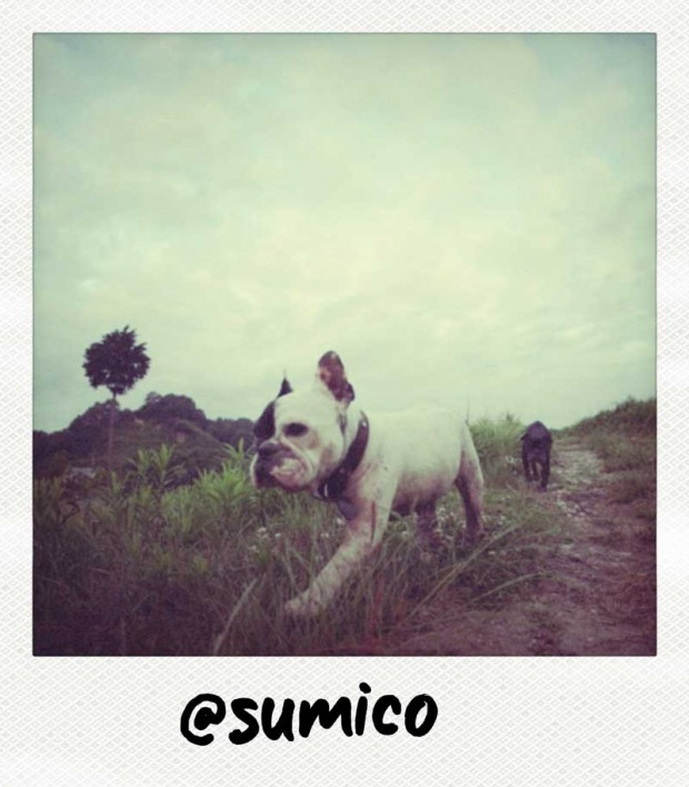 Sumico Polaroid of two French Bulldogs
